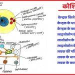 केन्द्रक | लाइसोसोम | लवक की खोज,भाग,कार्य और प्रकार