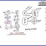 कोशिका विभाजन | इसके प्रकार | कोशिका चक्र